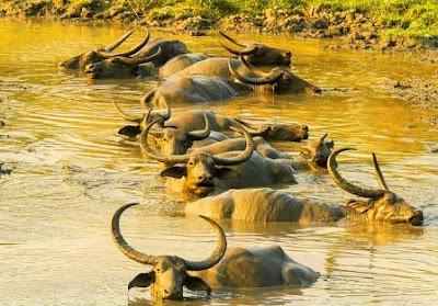 Wild buffelo images in Kaziranga national park
