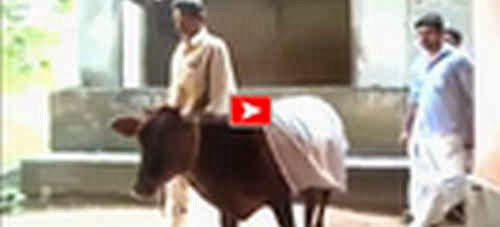BOY MARRIES A COW