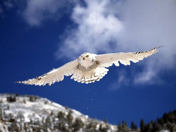 Cú Tuyết (Snowy Owl)