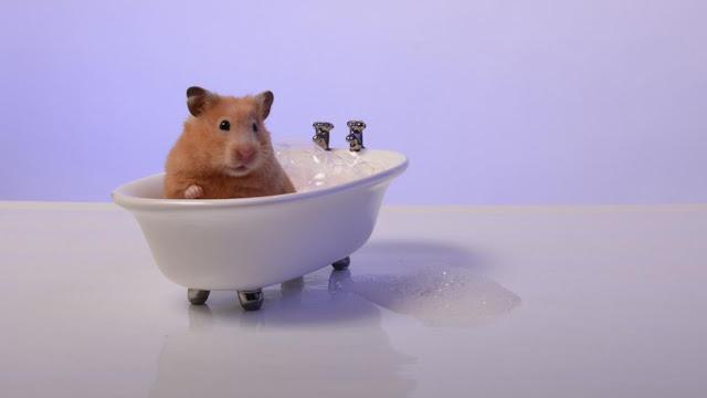 hamster banyo