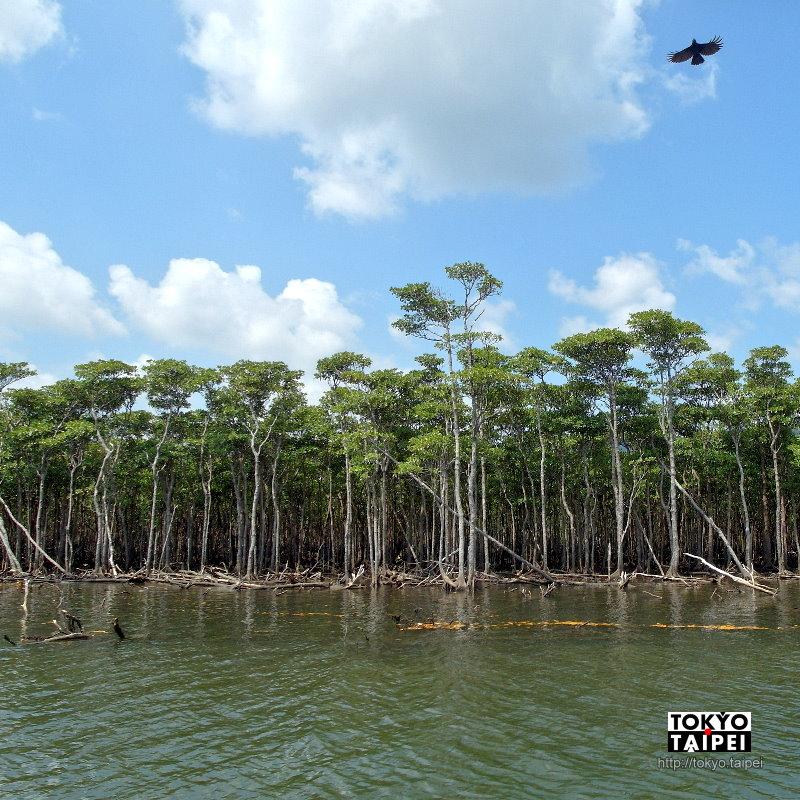 【仲間川紅樹林周遊觀光船】搭船深入紅樹林 彷彿亞馬遜叢林探險