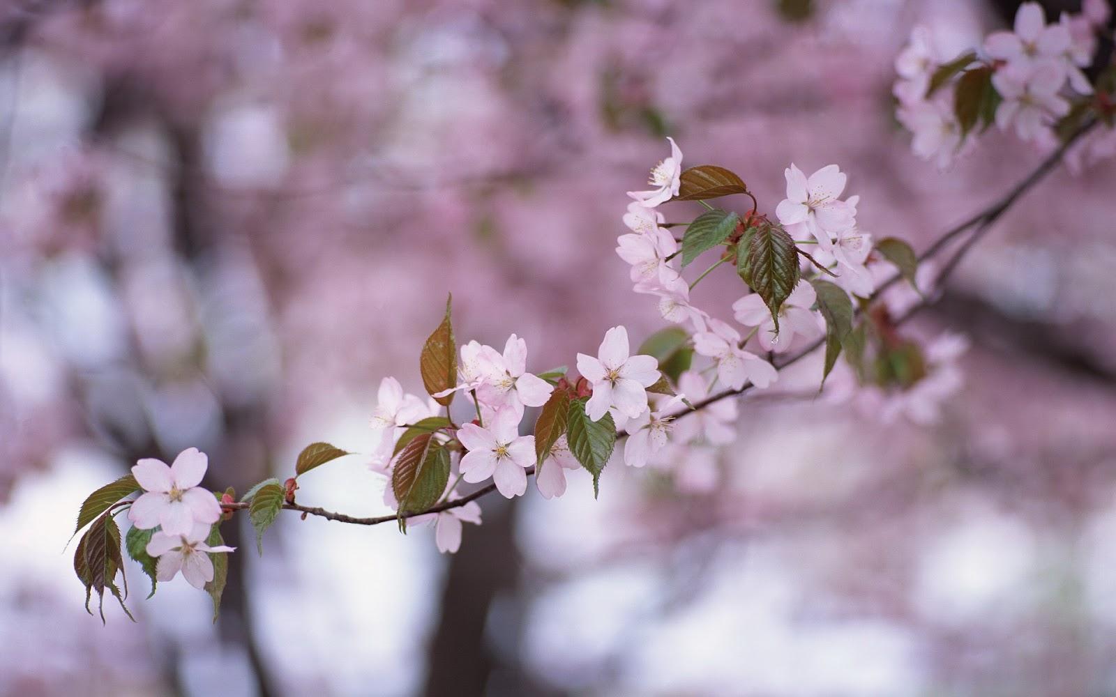 cherry blossom branch - photo #44