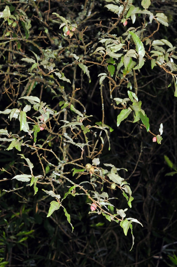 福星花園: 鄧氏胡頹子之二