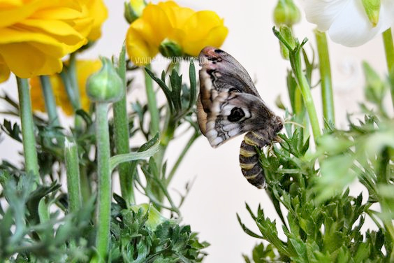saturnia-pyri-ranuncoli-primavera
