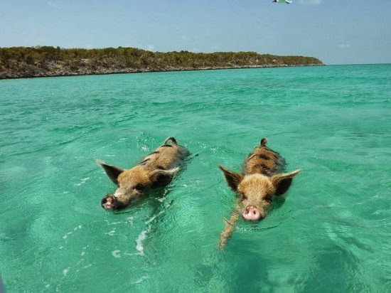 The Swimming Pigs of Big Major Cay, in the Bahamas | Qtija