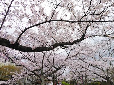 交野市・妙見河原の桜