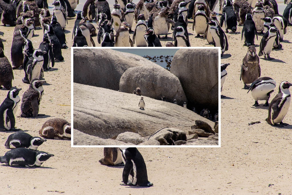 seeing penguins at cape town south africa where to see animals, how to get to boulders beach, boulders beach, beach attractons