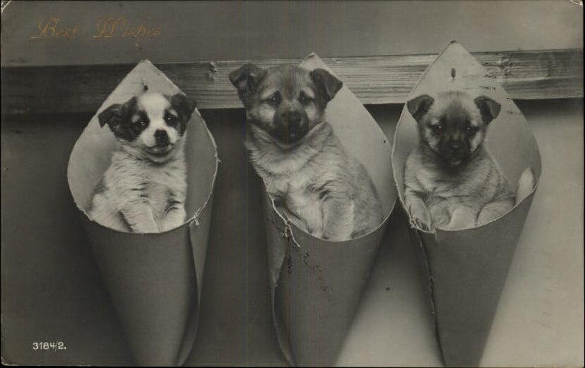 Adorable Shepherd Type Puppy Dogs In Cones C 1910