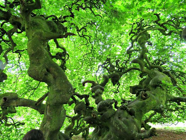 Parkanaur Forest Park Parasol Beech Trees
