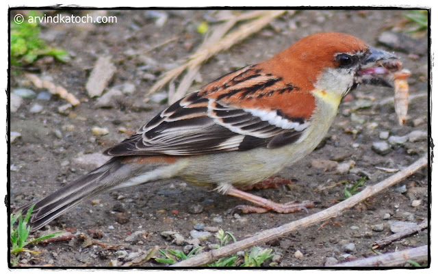 Male, Russet Sparrow