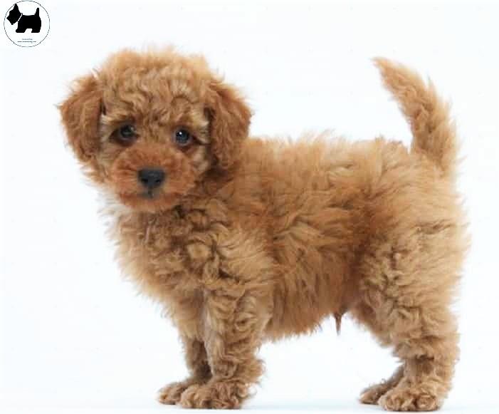 Cutest Dog Breeds, Best Dog, Peekapoo Dog puppies