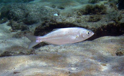 anchova (Pomatomus saltatrix)