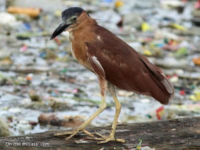 Nycticorax caledonicus - Rufous Night-Heron