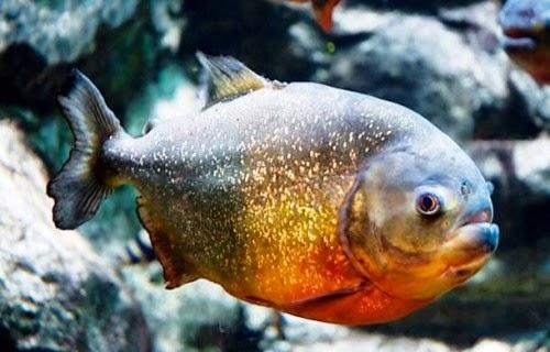 شاهد بالفديو ماذا تفعل سمكه البيرانا المتوحشه Piranha