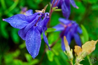 Cramer Imaging's professional quality fine art nature photograph of blue wildflowers with water droplets in Salt Lake City, Utah