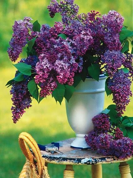 LA FOTO DE HOY: Fragrant Lilacs 1
