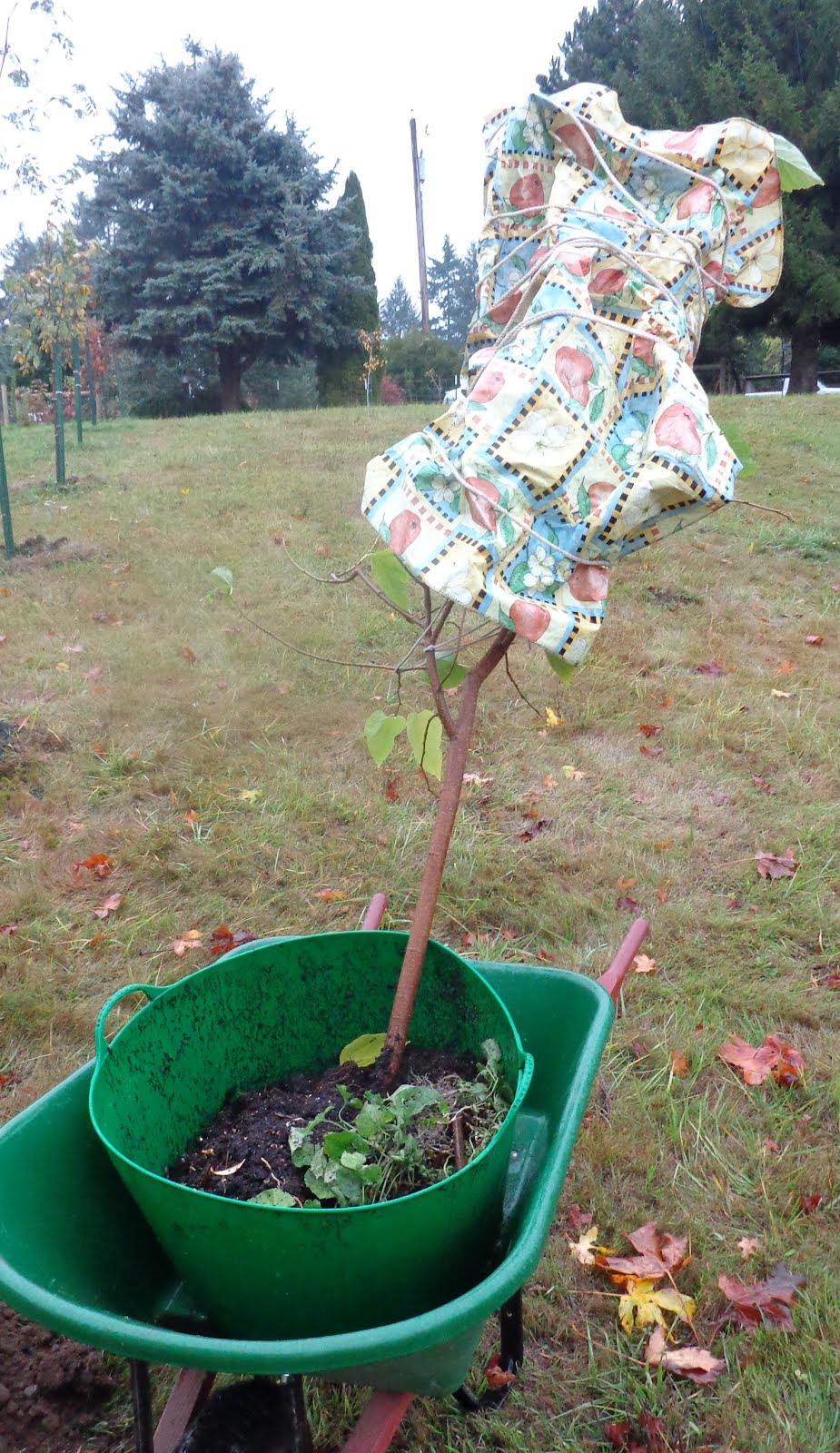 Growing Greener In The Pacific Northwest Moving A Small Mulberry Tree