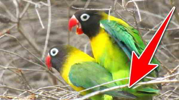cara membuat lovebird ngekek panjang dan rajin