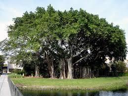 Pengertian Pohon Beringin Menurut Para Ahli