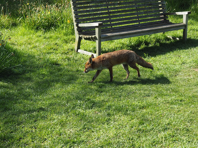 Kew Gardens--fox