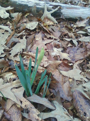 our single daffodil, a sign of spring in Ruther Glen, VA