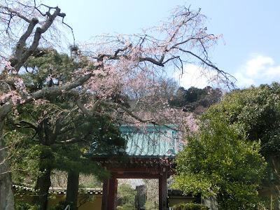 光則寺枝垂れ桜