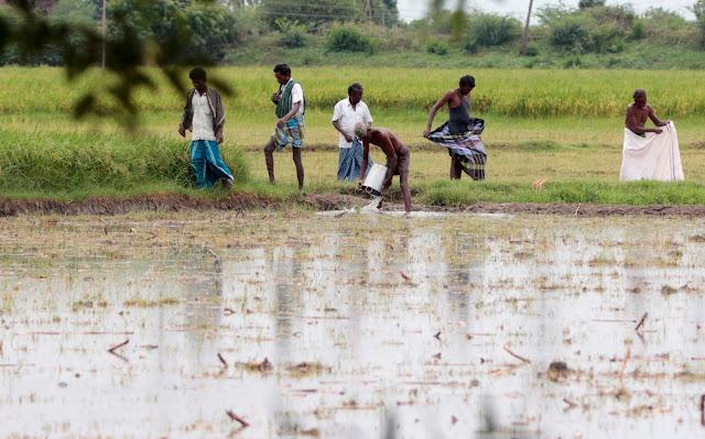 riziculteur tamil nadu