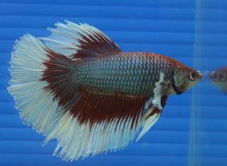 Makanan ikan cupang/laga yang dapat membuat ikan menjadi gahar dan agresif
