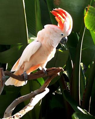 jenis burung kakatua molken atau mollucan