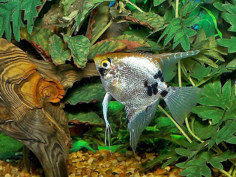 ikan manfish galak