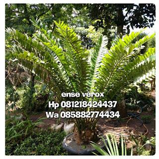 Tukang taman jual tanaman langka pohon purba ense verox