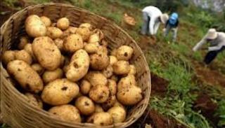 Budiaya kentang semakin hari semakin banyak orang yang ingin terjun sebagai petani kentan Kabar Terbaru- CARA MEMBUAT BIBIT KENTANG SENDIRI