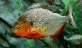 ikan piranha amazon
