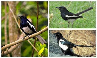 6 Cara Beternak Burung Kacer Yang Baik dan Berkualitas
