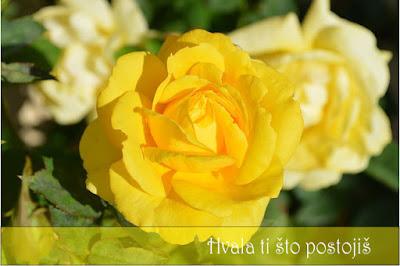 Dovoljno je reći da nikada ne možete pogrešiti, ako odaberete žute ruže.