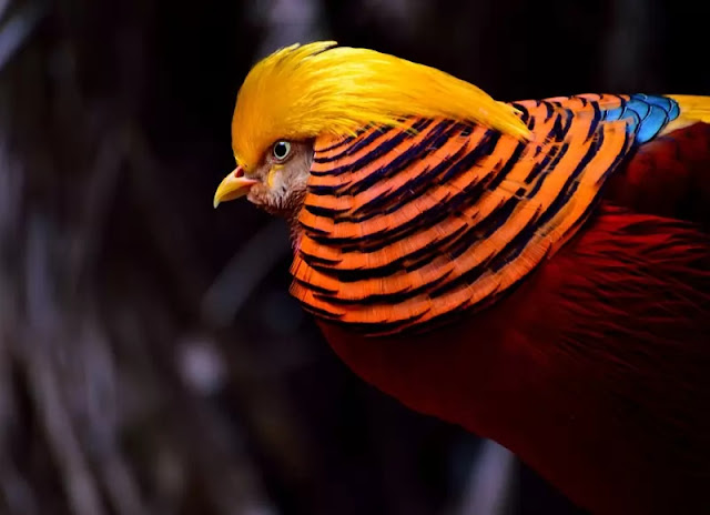 Golden-Pheasant-Bird