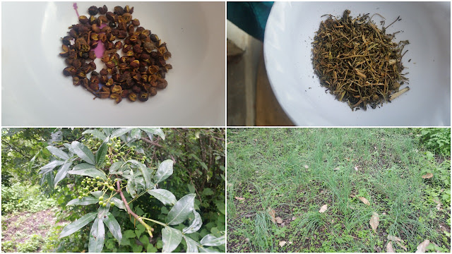 The Herbs from the Homestay Garden: Tyamur and Jimbu