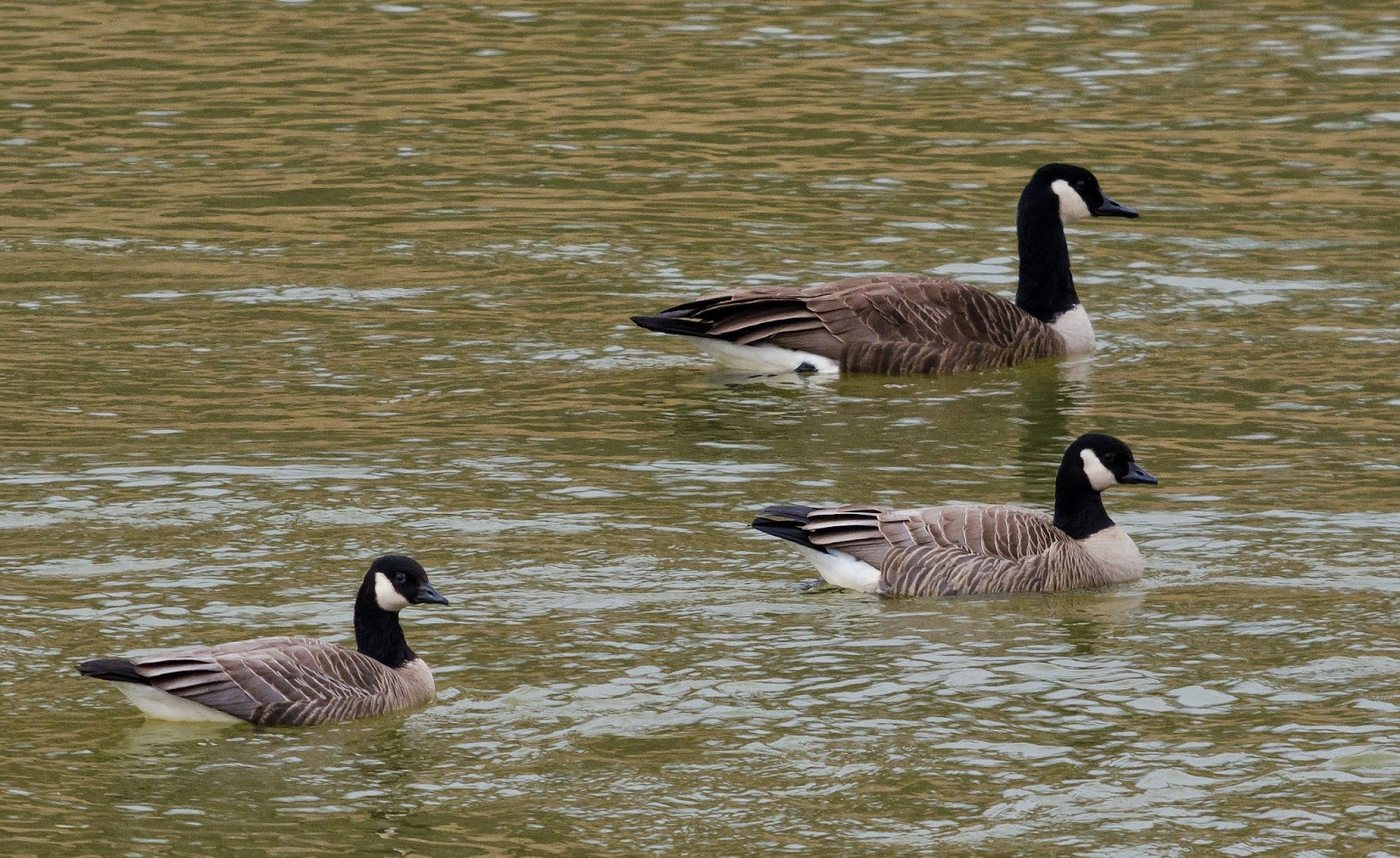 Cackling Goose Athens Ohio