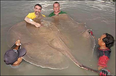 Big Fishes of the World: STINGRAY GIANT FRESHWATER ...