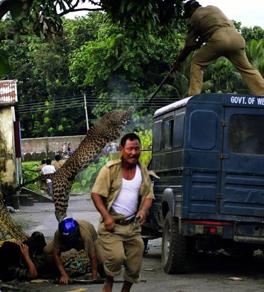 Mengerikan, Macan Tutul ini Masuk Kampung dan Sempat Gigit Seorang Polisi, Ternyata Ada Cerita dibaliknya
