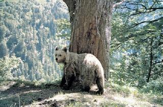 Un oso en la nieve, esperando la primavera