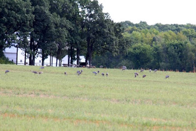 sandhill crane flocks, August 30, 2013