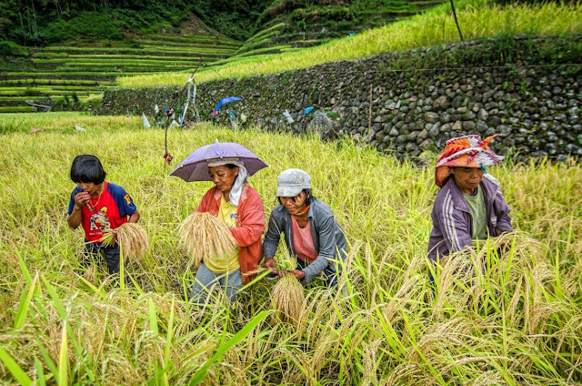 8th Wonder of the World Batad Rice Terraces Ifugao Cordillera Administrative Region Philippines Batad Rice Terraces Local Folk Farmers Harvesting Mature Rice Stalks