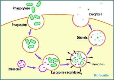 Exocytose