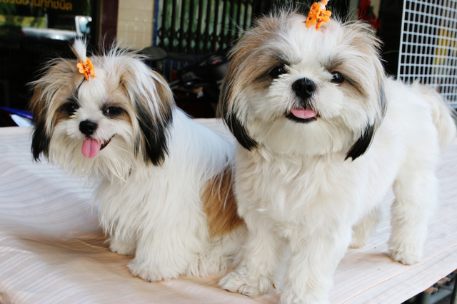 shih tzu funny funny shih tzu cute puppies wallpaper and pictures 1036