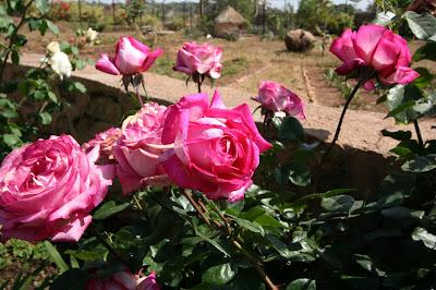 Pink Roses, Jos