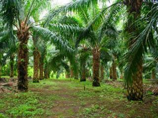 masalah-perkebunan-kelapa-sawit.jpg