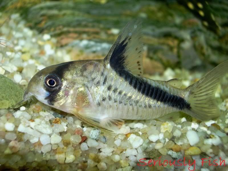 Gambar Corydoras Jenis Jenis Ikan Catfish Atau Lele Hias