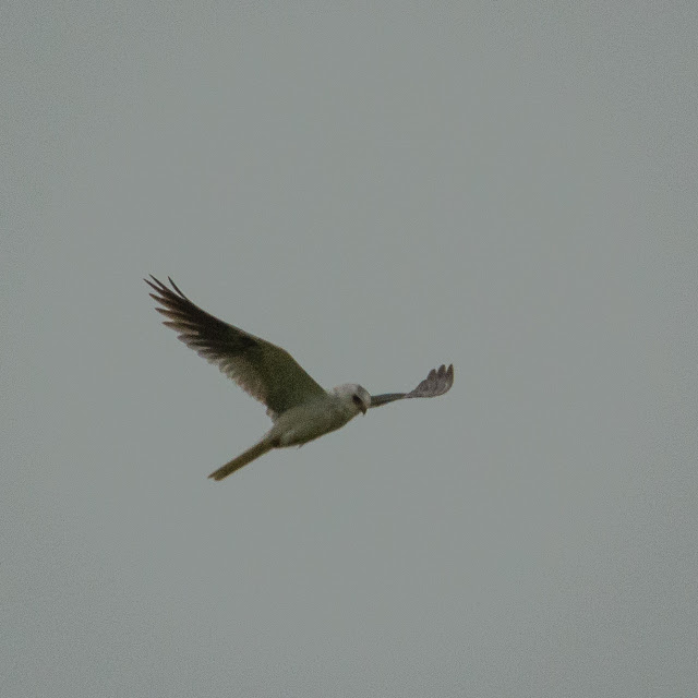 White-tailed Kite, Anahuac NWR