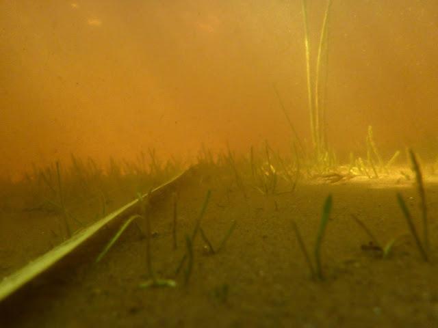 Mittanauha hiekkapohjalla vesikasvien seassa
